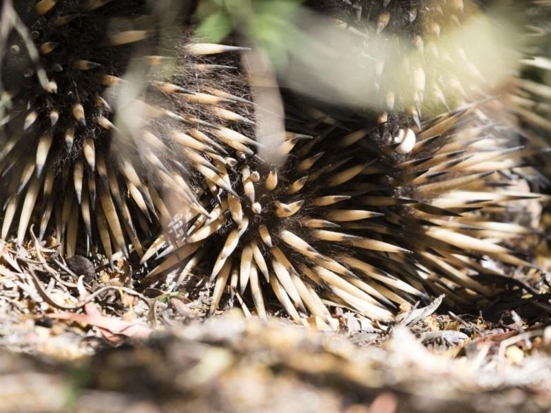 Tachyglossus aculeatus at Michelago, NSW - 3 Nov 2018