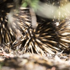 Tachyglossus aculeatus (Short-beaked Echidna) at Illilanga & Baroona - 2 Nov 2018 by Illilanga