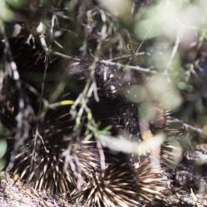 Tachyglossus aculeatus at Illilanga & Baroona - 3 Nov 2018