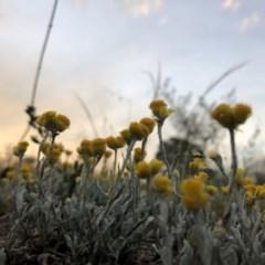 Chrysocephalum apiculatum (Common Everlasting) at Cooleman Ridge - 2 Nov 2018 by Nat