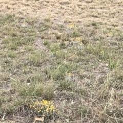 Chrysocephalum apiculatum (Common Everlasting) at Cooleman Ridge - 3 Nov 2018 by Nat