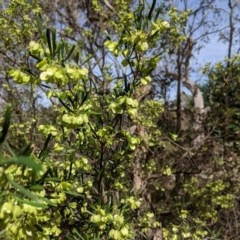 Dodonaea viscosa (Hop Bush) at Hughes Grassy Woodland - 3 Nov 2018 by JackyF