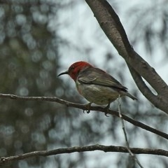 Myzomela sanguinolenta (Scarlet Honeyeater) at Brogo, NSW - 4 Nov 2018 by MaxCampbell