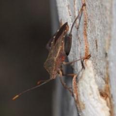Amorbus sp. (genus) at ANBG - 30 Oct 2018
