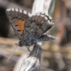 Lucia limbaria (Chequered Copper) at Chapman, ACT - 4 Nov 2018 by SWishart
