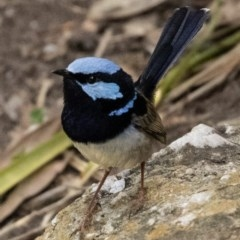 Malurus cyaneus (Superb Fairy-wren) at FS Private Property - 4 Nov 2018 by Stewart