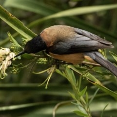 Acanthorhynchus tenuirostris (Eastern Spinebill) at FS Private Property - 4 Nov 2018 by Stewart