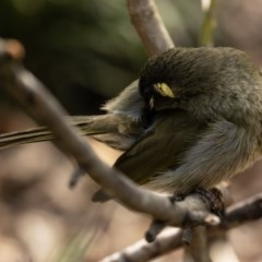 Meliphaga lewinii (Lewin's Honeyeater) at FS Private Property - 4 Nov 2018 by Stewart