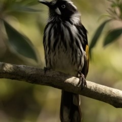 Phylidonyris novaehollandiae (New Holland Honeyeater) at FS Private Property - 4 Nov 2018 by Stewart