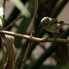 Acanthiza pusilla (Brown Thornbill) at FS Private Property - 4 Nov 2018 by Stewart