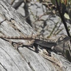 Amphibolurus muricatus (Jacky Lizard) at Paddys River, ACT - 4 Nov 2018 by JohnBundock