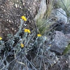 Chrysocephalum apiculatum (Common Everlasting) at Cooleman Ridge - 4 Nov 2018 by Nat