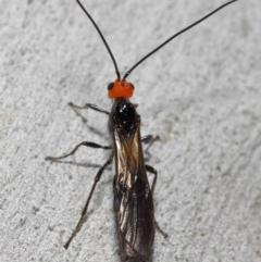 Braconidae sp. (family) at ANBG - 4 Nov 2018