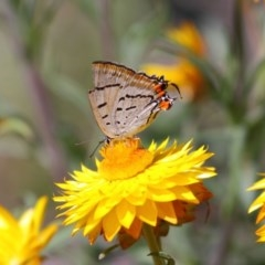 Jalmenus evagoras (Imperial Hairstreak) at ANBG - 8 Mar 2015 by Tim L