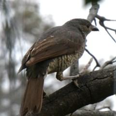 Ptilonorhynchus violaceus (Satin Bowerbird) at Wandiyali-Environa Conservation Area - 4 Nov 2018 by Wandiyali