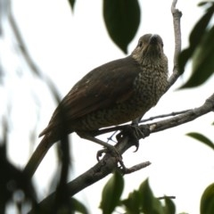 Ptilonorhynchus violaceus at Wandiyali-Environa Conservation Area - 5 Nov 2018