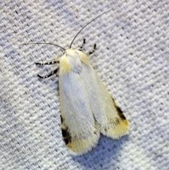 Cryptophasa undescribed species (A Timber moth (subfamily Xyloryctidae)) at O'Connor, ACT - 4 Nov 2018 by ibaird