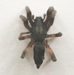 Lampona cylindrata (White-tailed spider) at Hughes, ACT - 5 Nov 2018 by ruthkerruish