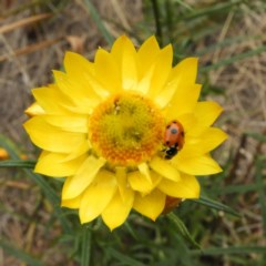 Hippodamia variegata (Spotted Amber Ladybird) at Kambah, ACT - 1 Nov 2018 by MatthewFrawley