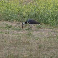 Threskiornis spinicollis (Straw-necked Ibis) at Red Hill Nature Reserve - 5 Nov 2018 by JackyF