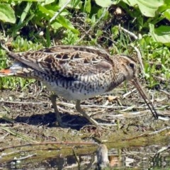 Gallinago hardwickii (Latham's Snipe) at Jerrabomberra Wetlands - 4 Nov 2018 by RodDeb