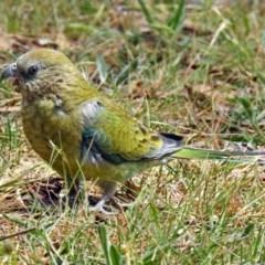Psephotus haematonotus (Red-rumped Parrot) at Jerrabomberra Wetlands - 4 Nov 2018 by RodDeb