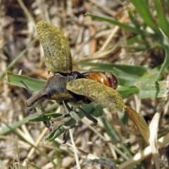 Larinus latus (Onopordum seed weevil) at Jerrabomberra Wetlands - 4 Nov 2018 by RodDeb