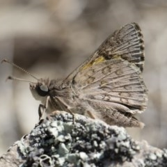 Trapezites phigalioides (Montane Ochre) at Illilanga & Baroona - 2 Nov 2018 by Illilanga