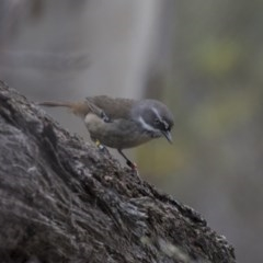 Sericornis frontalis (White-browed Scrubwren) at ANBG - 4 Nov 2018 by Alison Milton