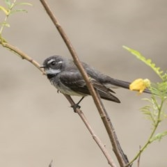Rhipidura fuliginosa (Grey Fantail) at ANBG - 4 Nov 2018 by Alison Milton