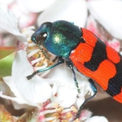 Castiarina crenata (Crenata jewel beetle) at Cotter Reserve - 5 Nov 2018 by Harrisi