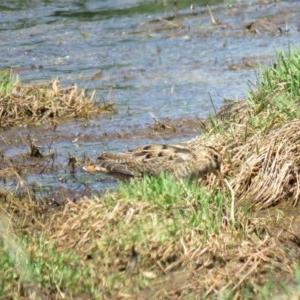 Gallinago hardwickii at Jerrabomberra Wetlands - 30 Oct 2018