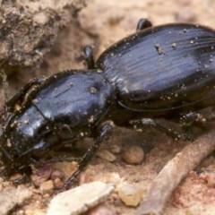 Promecoderus sp. (genus) (Predaceous ground beetle) at Ainslie, ACT - 13 Apr 2018 by jbromilow50