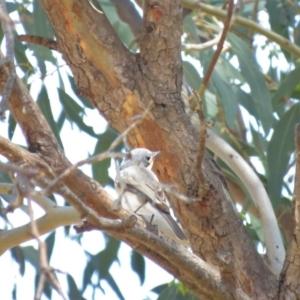 Myiagra rubecula at Gigerline Nature Reserve - 1 Nov 2018