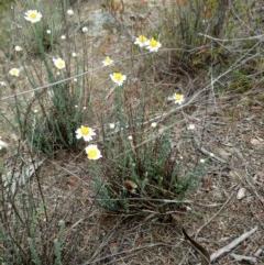 Rhodanthe anthemoides (Chamomile Sunray) at Karabar, NSW - 5 Nov 2018 by samreid007