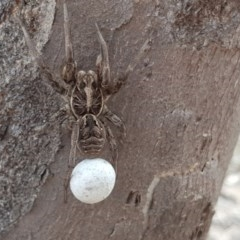 Tasmanicosa sp. (genus) (Unidentified Tasmanicosa wolf spider) at Mount Mugga Mugga - 6 Nov 2018 by Mike
