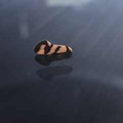 Olbonoma triptycha (Concealer moth) at Chapman, ACT - 6 Nov 2018 by Nat