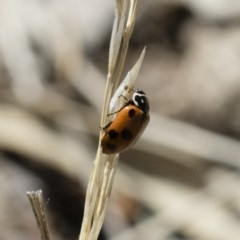 Hippodamia variegata (Spotted Amber Ladybird) at Illilanga & Baroona - 2 Nov 2018 by Illilanga
