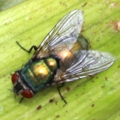 Lucilia cuprina (Australian Sheep Blowfly) at Undefined - 23 Oct 2018 by jbromilow50