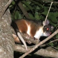 Pseudocheirus peregrinus (Common Ringtail Possum) at Undefined - 25 Oct 2018 by jbromilow50