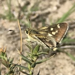 Trapezites luteus (Yellow Ochre, Rare White-spot Skipper) at Mount Taylor - 30 Oct 2018 by PeterR