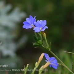 Dampiera stricta (Blue Dampiera) at South Pacific Heathland Reserve - 31 Oct 2018 by Charles Dove