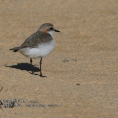 Charadrius ruficapillus (Red-capped Plover) at Wairo Beach and Dolphin Point - 28 Oct 2018 by CharlesDove