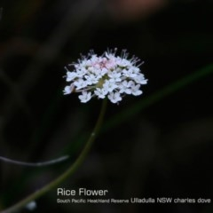 Trachymene incisa (Native Parsnip) at South Pacific Heathland Reserve - 29 Oct 2018 by Charles Dove