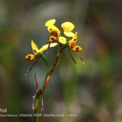 Diuris sulphurea (Tiger Orchid) at South Pacific Heathland Reserve - 29 Oct 2018 by CharlesDove