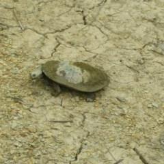 Chelodina longicollis (Eastern Long-neck Turtle) at Amaroo, ACT - 4 Nov 2018 by nath_kay