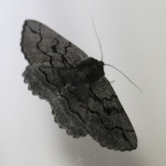 Melanodes anthracitaria (Black Geometrid) at Illilanga & Baroona - 2 Oct 2018 by Illilanga