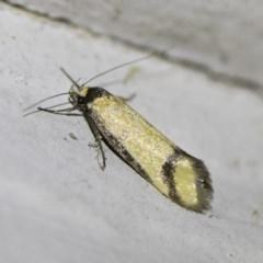Philobota ancylotoxa (A concealer moth) at Illilanga & Baroona - 2 Oct 2018 by Illilanga