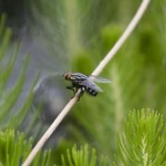 Sarcophagidae sp. (family) (Unidentified flesh fly) at Illilanga & Baroona - 7 Jan 2018 by Illilanga