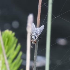 Sarcophagidae sp. (family) at Michelago, NSW - 7 Jan 2018